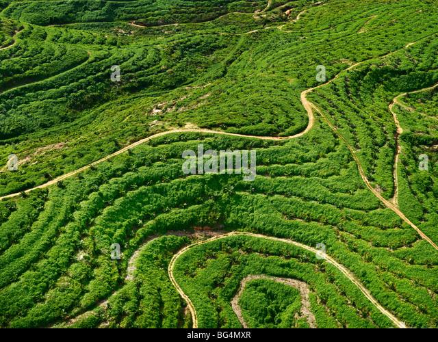 Eine Luftaufnahme des jungen Palmenplantage. Stockbild