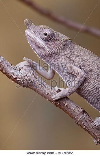 Minors Chamäleon, Furcifer minor, Männlich, Madagaskar Stockbild