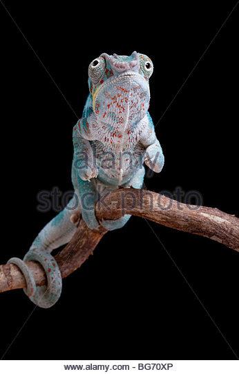 Pantherchamäleon, Furcifer Pardalis Nosy Faly, Madagaskar Stockbild