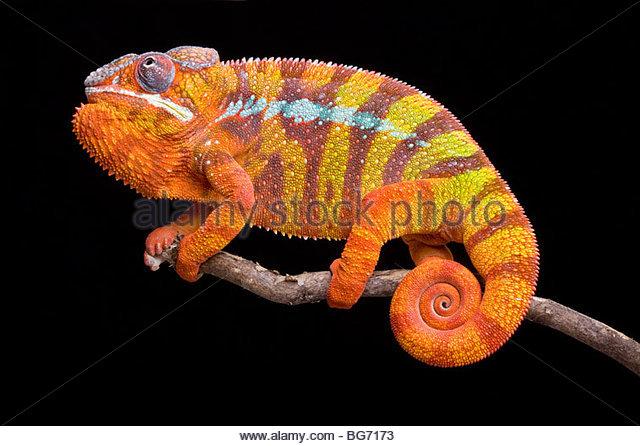 Pantherchamäleon, Furcifer Pardalis Ambilobe, Madagaskar Stockbild