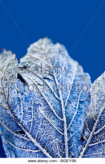 Frost auf gefrorenen Blatt Stockbild