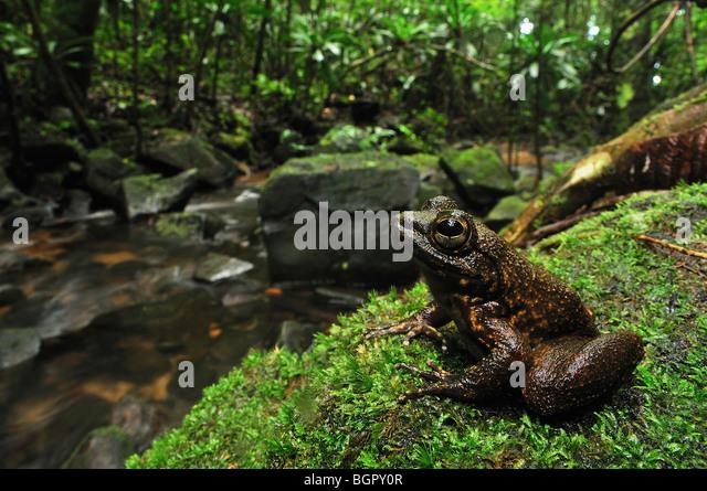 Die Grandidier Stream Frosch (Mantidactylus Grandidieri), Erwachsene am Bach, Masoala Nationalpark, Madagaskar Stockbild