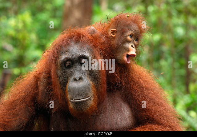 Borneo Orang-Utan (Pongo Pygmaeus), Weibchen mit seiner Baby Reiten auf seinen Rücken, Kalimantan, Borneo, Stockbild