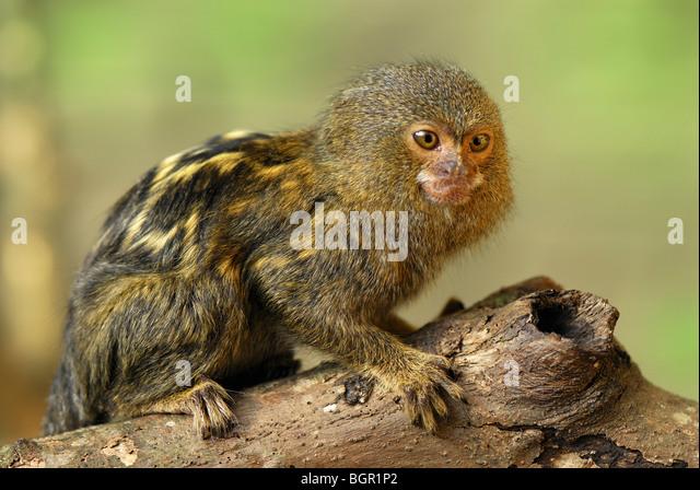 Pygmy Marmoset (Callithrix Pygmaea), Erwachsene, Amazonas, Leticia, Kolumbien - Stock-Bilder