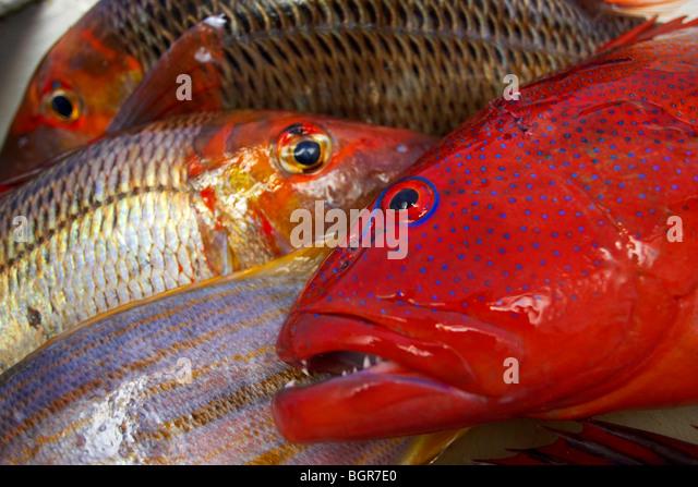 Frische Fische gefangen auf dem Great Barrier Reef Australien Stockbild