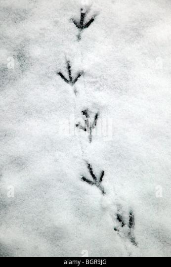 Taube Spuren hinterlassen in gefrorenen Schnee auf dem Kirchhof von St. Mary the Virgin Ladywell, Lewisham Stockbild