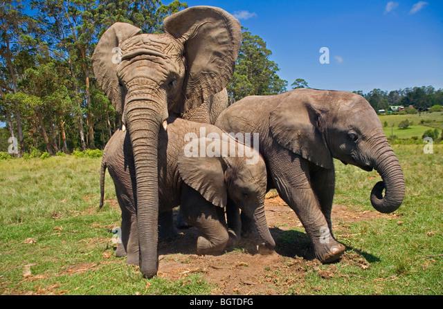 Elefanten spielen im Knysna Elephant Park, Western Cape, Südafrika Stockbild