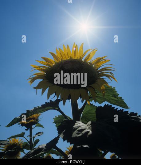 Sonnenblume Kopf gegen einen hellen Sommersonne und einem dunklen Ble Himmel, Toskana, Italien Stockbild