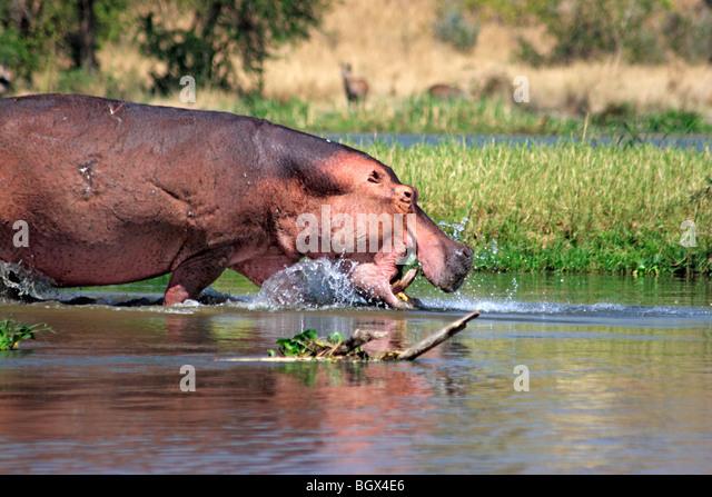 Flusspferd (Hippopotamus Amphibius), Murchison Falls Conservation Area, Uganda, Afrika Stockbild