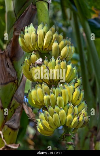 Banana ist der allgemeine Name für krautige Pflanzen der Gattung Musa und die Frucht, die sie produzieren. Stockbild