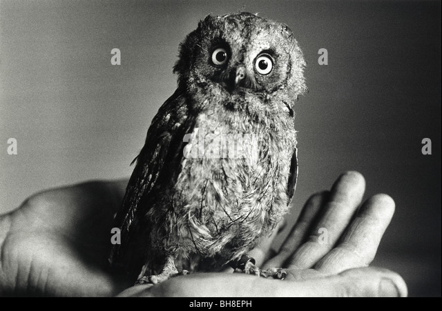 Ein Baby schmiegt sich europäische Zwergohreule Owl in einer hand Stockbild
