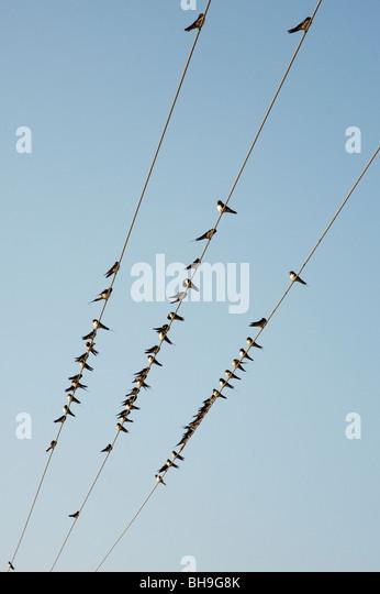 Hirundo rustica. Schwalben auf Strom Kabel in Indien gehockt Stockbild