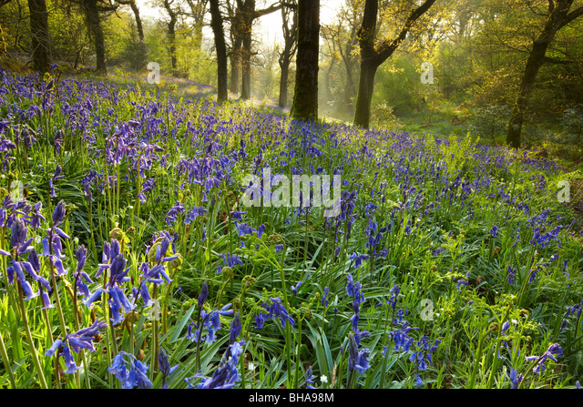 Glockenblumen in den Wäldern bei Batcombe, Dorset, England, UK Stockbild