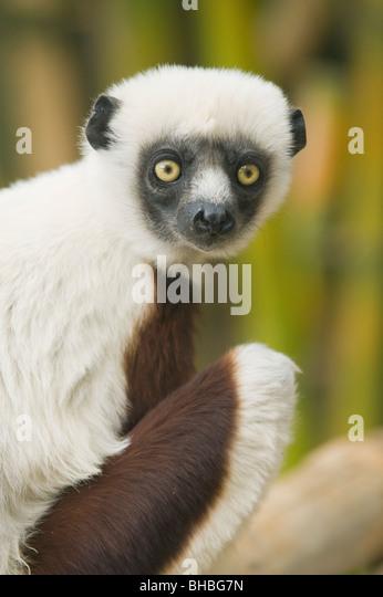 Coquerel Sifaka Lemur (Propithecus Coquereli), Ampijoroa Field Station, Madagaskar Stockbild