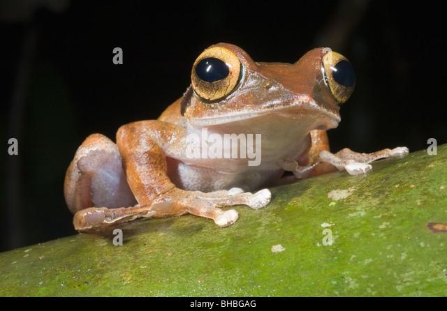 Madagaskar-Laubfrosch (Boophis Madagascariensis) Marojejy Nationalparks, Madagaskar Stockbild