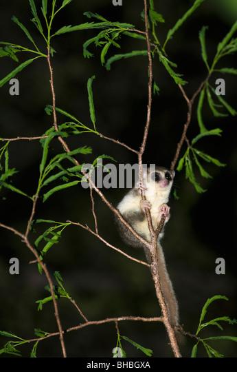 Rufous oder brauner Mausmaki (Microcebus Rufus) Fenamby Reserve, Daraina, Nordosten Madagaskars Stockbild