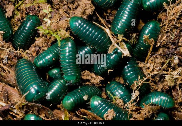Grüne Pille Tausendfüßler (Gattung Sphaerotherium) junge aufstrebende aus unterirdischen Nest, Marojejy Stockbild