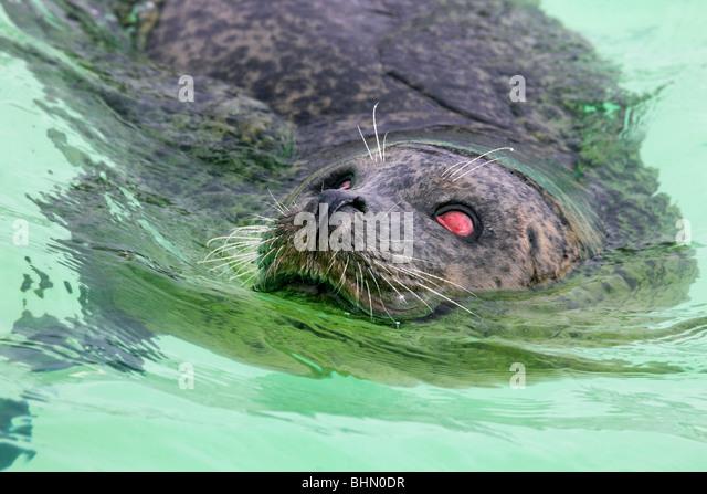 Blinde Seehunde (Phoca Vitulina) Schwimmen im Tierheim Dichtung Ecomare, Texel, Niederlande Stockbild