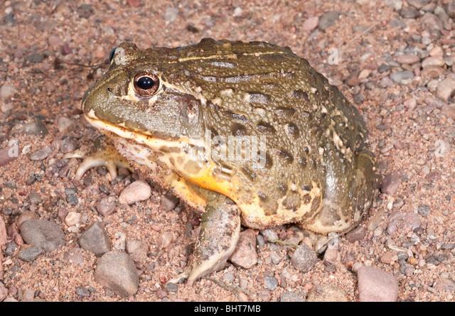 Afrikanischer Ochsenfrosch, Pyxicephalus Adspersus, aggressive Amphibien native ins südliche Afrika Stockbild