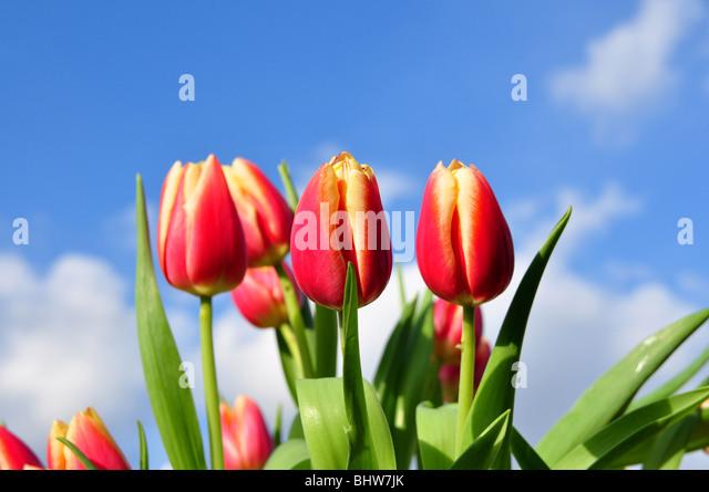 Rote Tulpe Anordnung mit einem blauen Himmelshintergrund. Geringe Schärfentiefe, Schwerpunkt Zentrum Tulpen. Stockbild