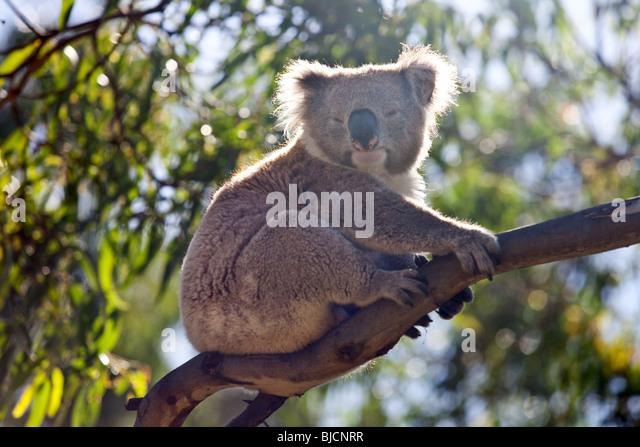 Koalabär im Great Otway National Park in der Nähe von Bimbi Camping Park, Victoria, Australien Stockbild