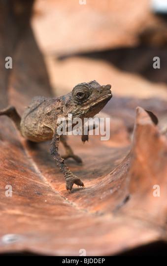 Zwerg-Blatt Chamäleon, Rhampholeon Spectrum, Kamerun, Westafrika Stockbild