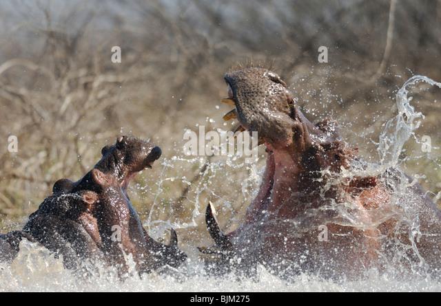 Zwei Männchen Flusspferde im Wasser (Hippopotamus Amphibius) kämpfen. Baringo-See, Kenia Stockbild