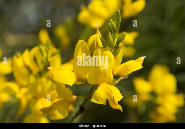 Ginsterblüte, Liparische Inseln, Sizilien, Italien | Italien, Sizilien, Liparischen Inseln, Parteimitglieder Stockbild