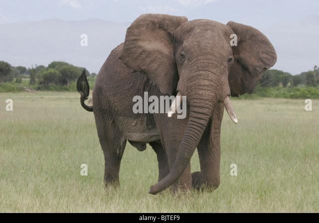 Elefant mit dem Ruwenzori-Gebirge im Hintergrund. Queen Elizabeth National Park. Uganda. Afrika. Stockbild