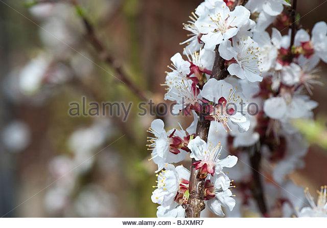 Aprikose Delicot Flavourcot Blüte im april Stockbild
