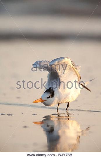 Königliche Tern, Hugenotten Memorial Park, Jacksonville, Florida Stockbild