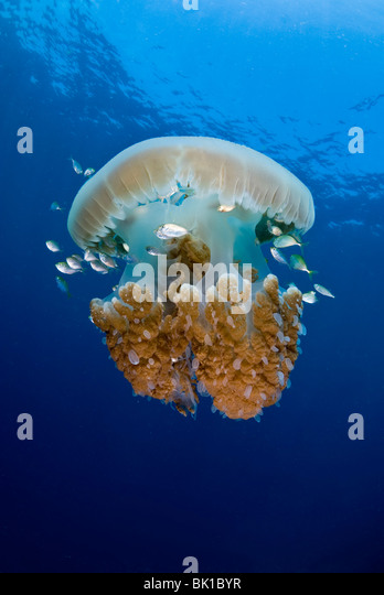 Jelly Fische, Shark Cave, Burma, Andamanensee Stockbild