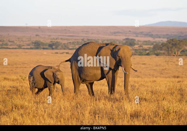 Afrikanischer Elefant (Loxodonta Africana) Mutter und jung, Masai Mara National Reserve, Kenia, Ostafrika, Afrika Stockbild