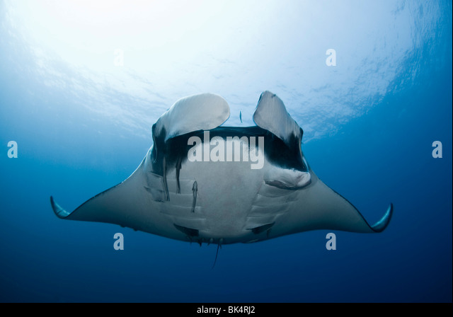 Manta Ray, Mergui Archipel, Burma, Andaman Meer, Indischer Ozean Stockbild