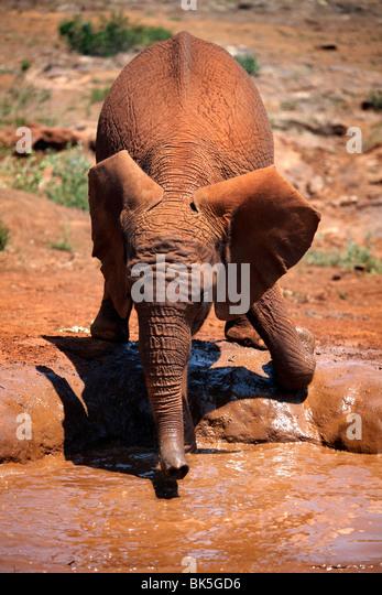 Ein Elefantenbaby am David Sheldrick Wildlife Trust Elephant Orphanage, Nairobi, Kenia, Ostafrika, Afrika Stockbild