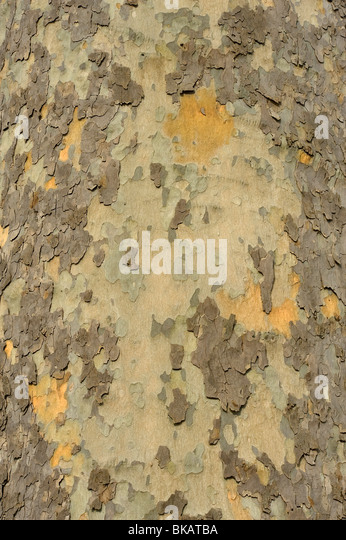 Abblätternde Rinde von London Platane Platanus x hispanica Stockbild