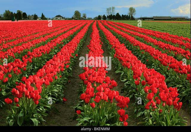 Tulpen im Skagit Valley während des jährlichen Tulip Festival Stockbild