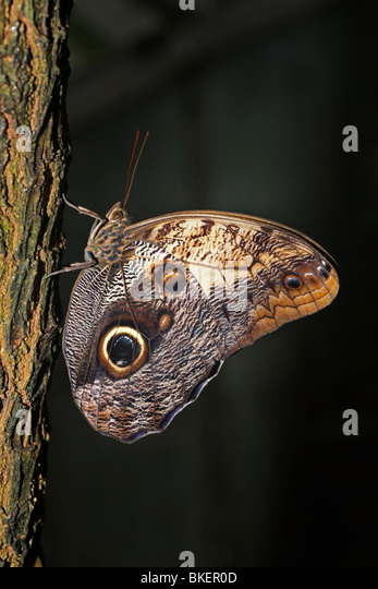 Eule Schmetterling. Stockbild