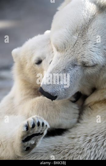 Little Polar Bear Cub spielt mit seiner Mutter Stockbild