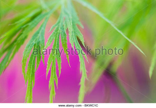 Acer Palmatum verlässt var. Dissectum. Glatte japanischer Ahorn abstrakt Stockbild