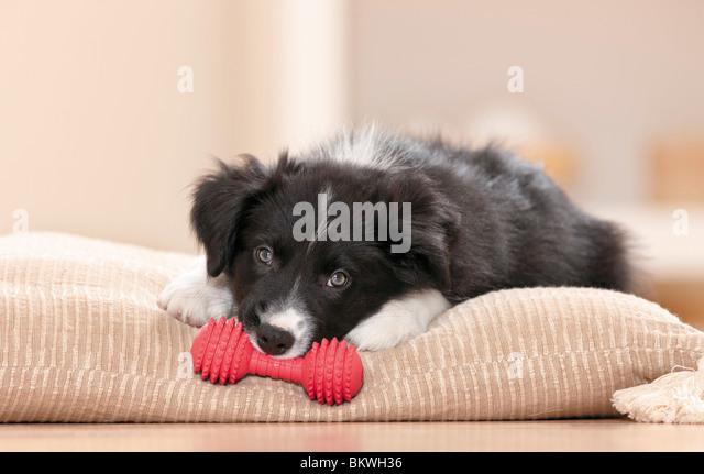 Border Collie Welpen Spielzeug liegenden Hundekissen Stockbild