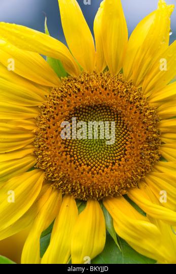 Green River Wildlife Area, Lee County, IL einzelne Sonnenblume Kopf detail Stockbild