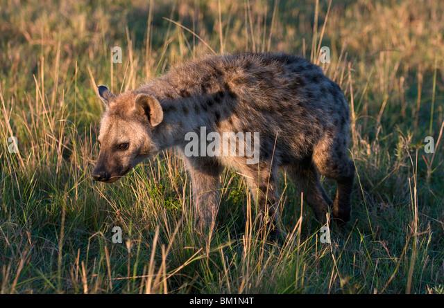 Spotted zerbeissen Cub (Crocuta Crocuta), Masai Mara National Reserve, Kenia, Ostafrika, Afrika Stockbild