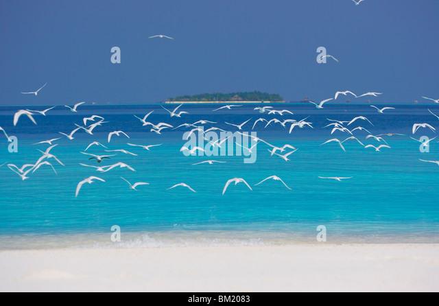 Möwen und Resort, Malediven, Indischer Ozean Stockbild