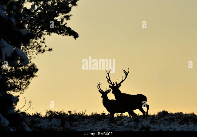 Rothirsch (Cervus Elaphus). Zwei Hirsche Silhouette in der Abenddämmerung, Niederlande. Stockbild