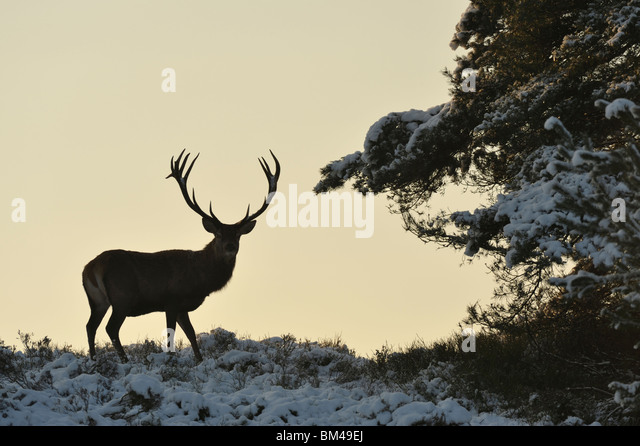 Rothirsch (Cervus Elaphus). Alert männlich im Schnee bedeckt Heide. Stockbild