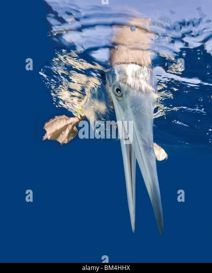 Braun Sprengfallen auf Wasser Oberfläche, Sula Leucogaster, Bikini Atoll, Mikronesien, Marshallinseln Stockbild