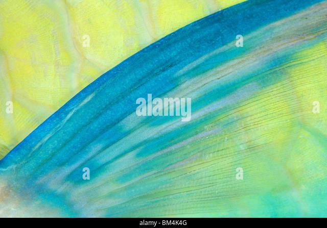 Brustflosse der Papageienfisch, Scarus SP., Ari Atoll, Indischer Ozean, Malediven Stockbild