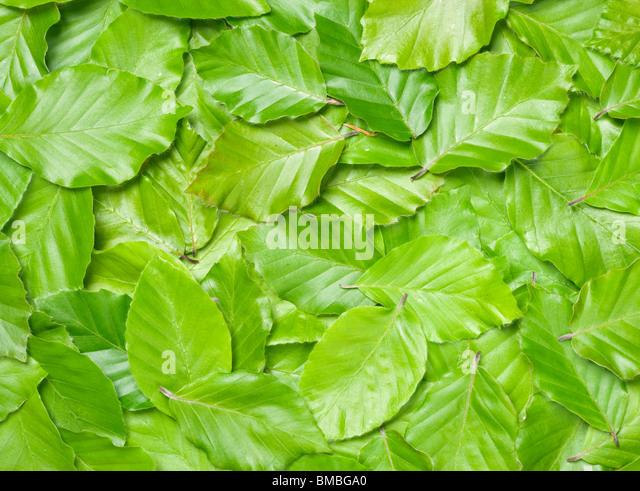 Blätter der Buche, Fagus Sylvatica. Stockbild