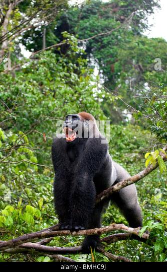 Flachlandgorilla, Léfini Nationalpark, Republik Kongo. Stockbild